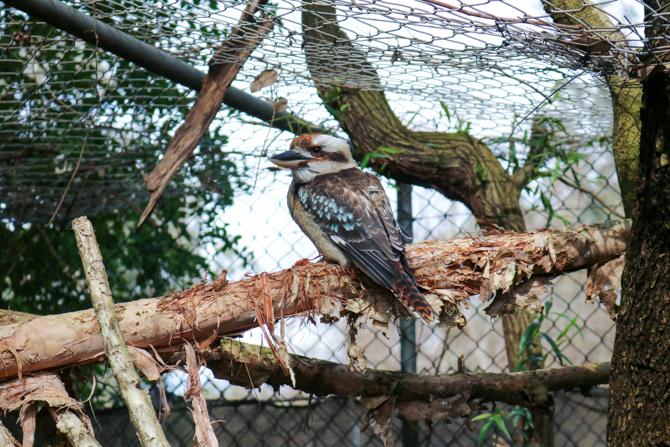 Kookaburra, Ranger Reds Zoo Conservation Park, Pinjarra