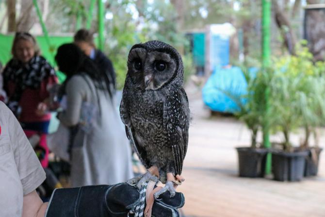 Owl, Ranger Reds Zoo Conservation Park, Pinjarra